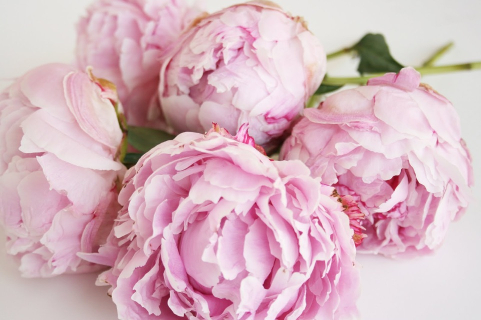 blush pink peonies - Garden Rose And Peony