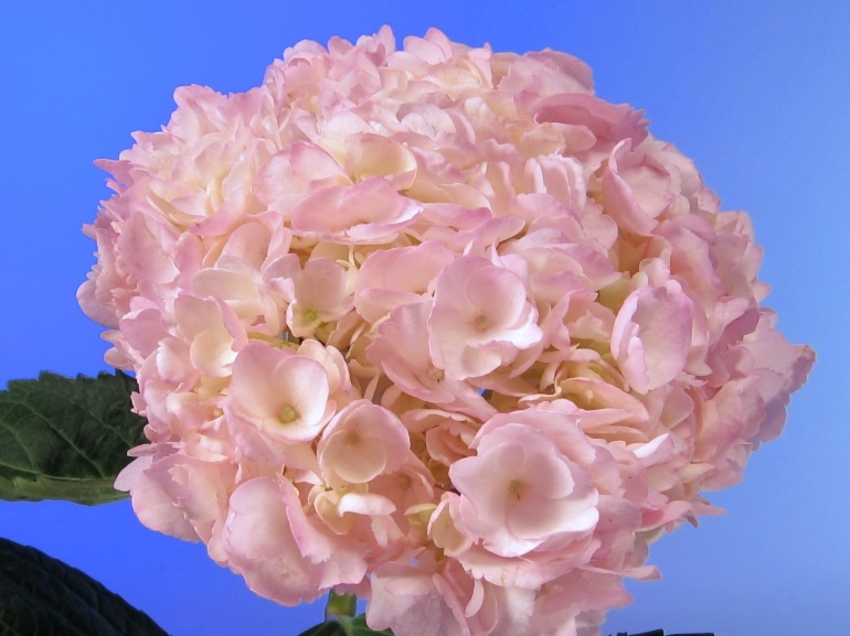 light pink hydrangeas tinted, Beautiful flower